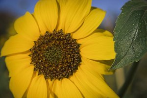 Sunny Sunflower (Photo)