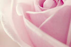 beatiful pink rose