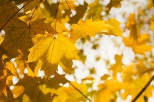 Autumn yellow leaves. Maple
