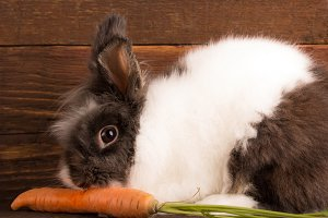 cute rabbit eating carot