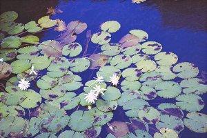 Hawaiian Lily & Koi Pond