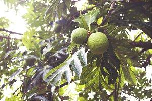 Wild Breadfruit Tree
