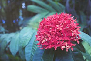 Hawaiian Red Flower