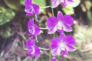 Hawaiian Wild Iris I