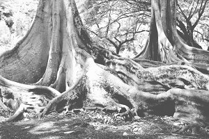 Morten Bay Fig Trees