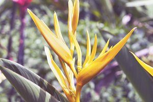 Yellow Bird of Paradise Flower