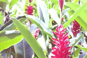Red Ginger Flower Grouping