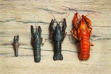 Beautiful live crawfish on a wood background