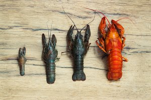 Beautiful live crawfish on a wood background