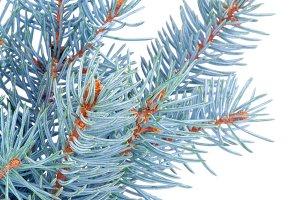 Bunch of Blue Spruce Branch