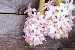 Pink Hyacinths