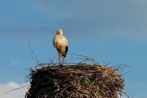 Sleeping Stork