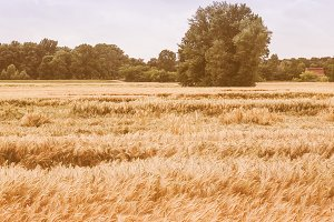 Barley corn field