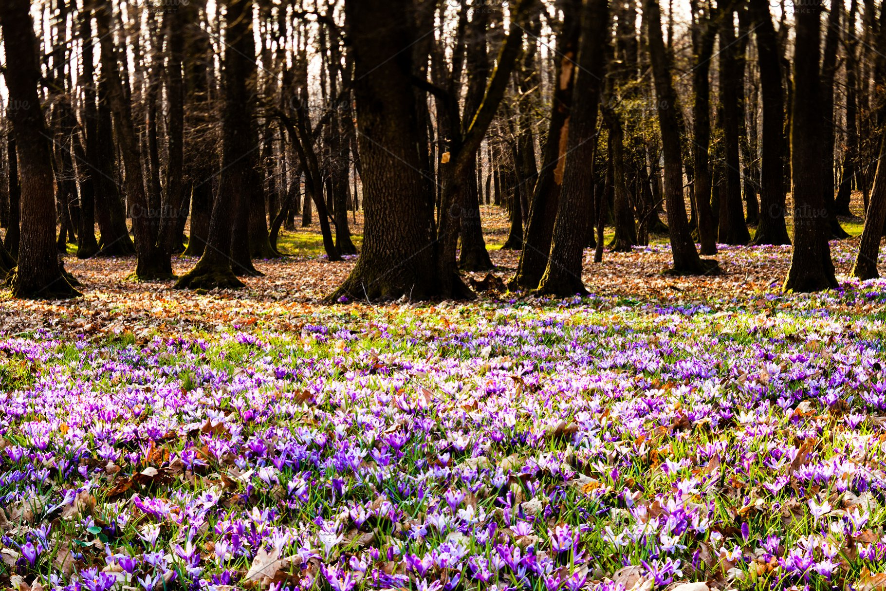 Saffron Flowers Blossom In The High Quality Nature Stock Photos