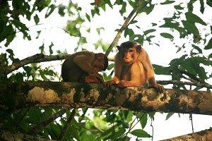 Macaques,Borneo