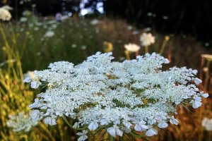 White Flower - Queen Anne's Lace