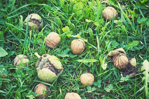 Walnuts on the grass