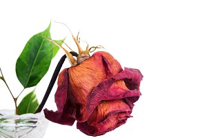 Dried red rose in vase