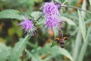 Japanese Hummingbird Hawk moth