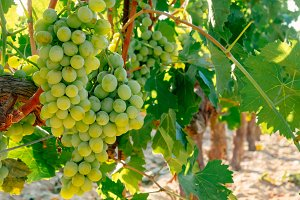 Fresh Green grapes on vine.