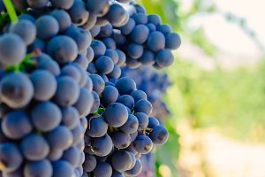 "Red Grapes ""Tinta de Toro"""