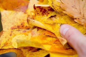 Amazing Autumn Leaves in Hand Macro