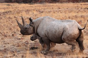 Hook-lipped Rhinoceros
