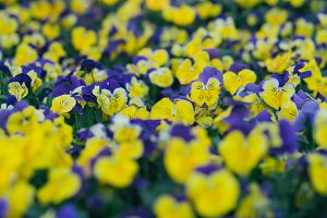 Mix purple yellow flowers