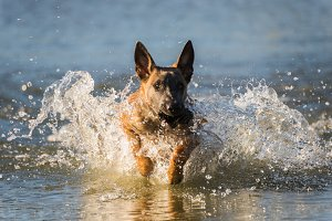 Malinois dog running in the lake