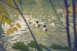 Ducks on the river 1