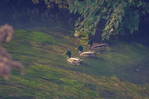 Ducks on the river 2