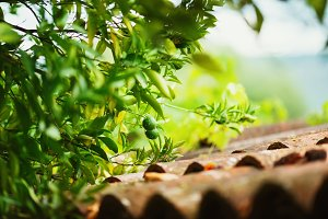 Green mandarin on a tree branch