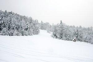 Сoniferous forest in winter