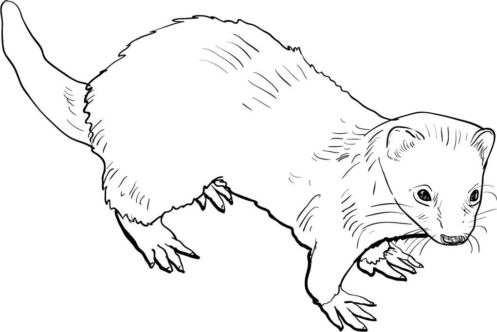 Drawing of ferret ~ Illustrations ~ Creative Market