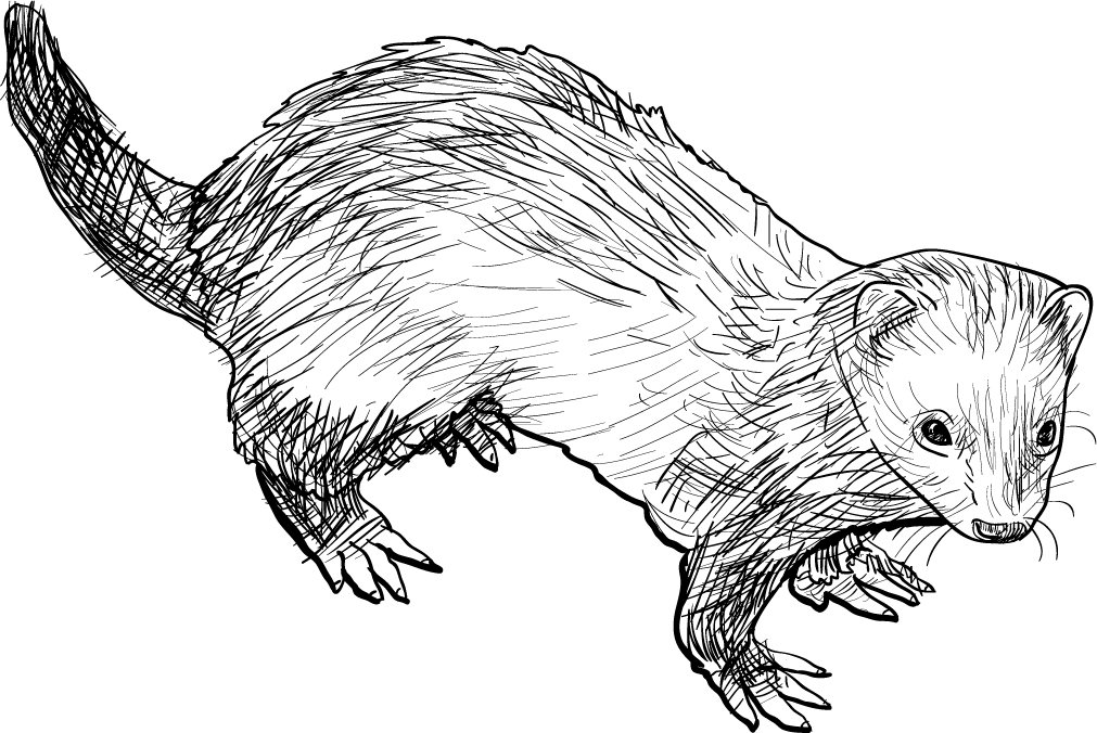 Drawing Of Ferret Illustrations Creative Market