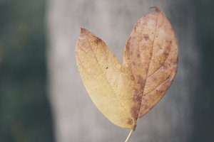 autumn leaf with heart
