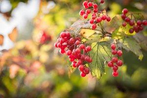 Branch of viburnum berries