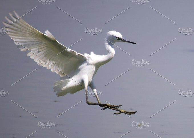 little egret,Egretta garzetta7.jpg - Animals