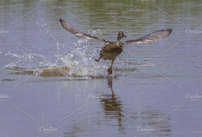 duck female(Anas platyrhynchos) in fly.jpg - Photos