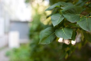 Tree leafs