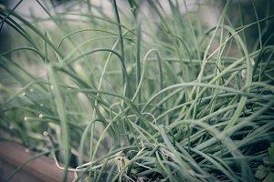 fresh bio garden chive