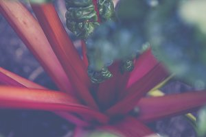 fresh bio mangold