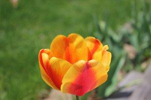 Orange/red tulip