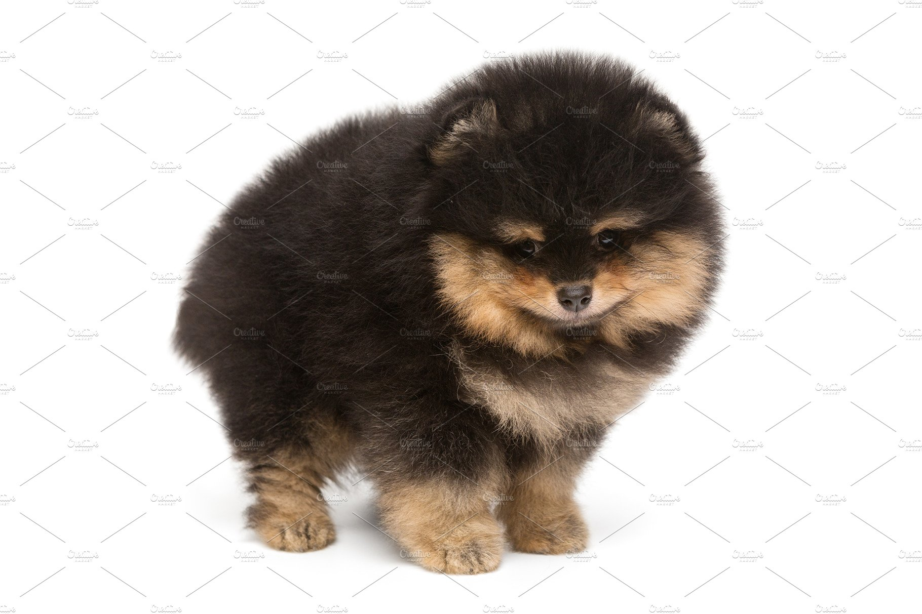 Small Funny Black Pomeranian Puppy