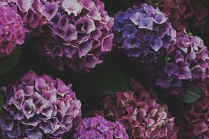 Purple Hydrangea Stock Photo
