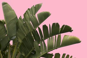 Tropical Palm Tree Pink Background