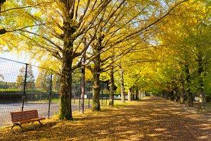 Autumn yellow Ginkgo (biloba) trees