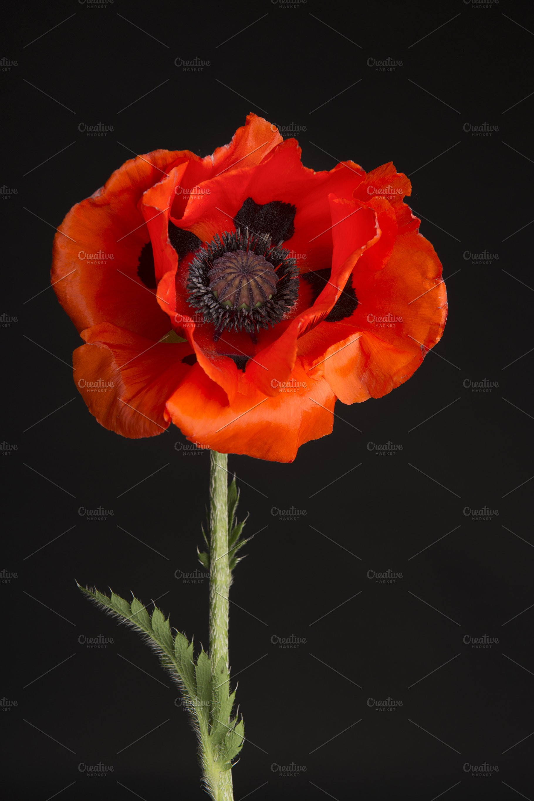Blooming Red Poppy Flower Head High Quality Nature Stock Photos
