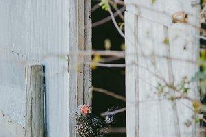Hen on a farm in barn