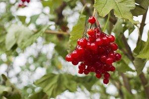 Bunch of red viburnum
